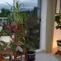 House Plants (Chlorophytum comosum Variegatum)