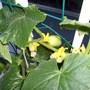 My Lemon Cuccumber