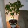 Ficus in his new pot!