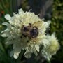 Honey Bee on Scabiosa