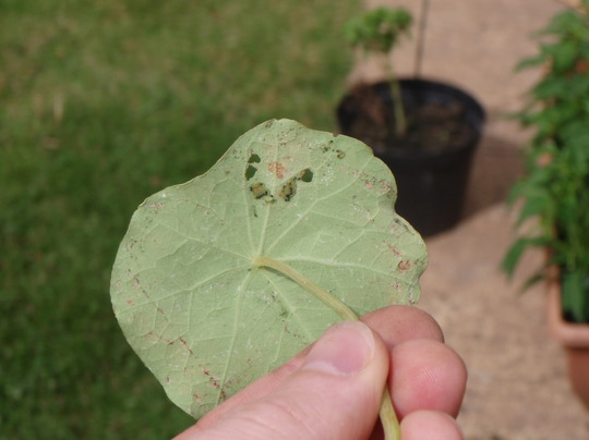 Caterpillars on my nasturtiums.