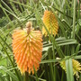 Red Hot Poker [Kniphofia Uvaria] flowering at last 08.08 (Kniphofia uvaria)