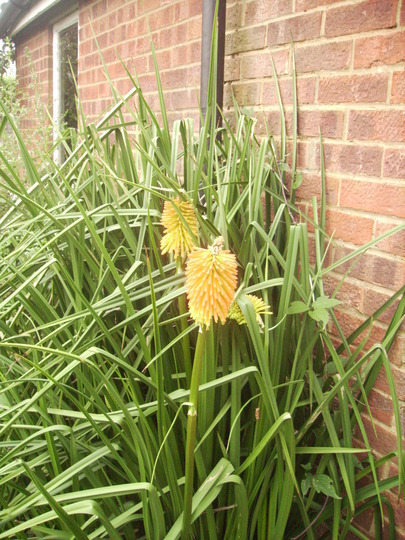 Red Hot Poker [Kniphofia Uvaria]  08.08 (Kniphofia uvaria)