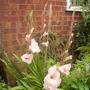Pink Gladioli in flower 08.08 (Gladiolus)