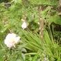 Gladioli, a little windswept but surviving 08.08 (Gladiolus)