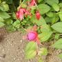 Hardy Fuchsia in flower 08.08 (Fuchsia (Vistabile))