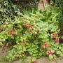 Hardy Fuchsia 'Tom Thumb' ? 08.08 (Fuchsia (Vistabile))