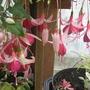 frosted flame (Fuchsia procumbens (Fuchsia))