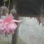south gate (Fuchsia procumbens (Fuchsia))