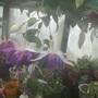 deep purple (Fuchsia procumbens (Fuchsia))