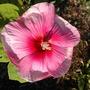 Dsc_0899_hibiscus_pauls_bed