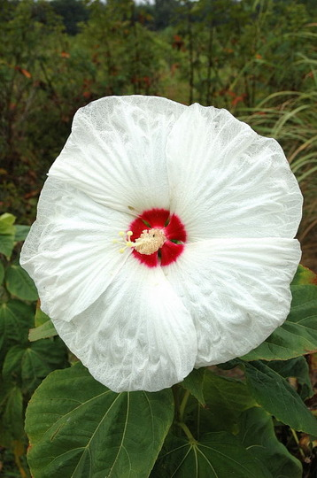 'Southern Belle' Hibiscus (Hibiscus moscheutos (Giant Mallow Marvels))
