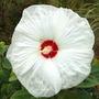 Dsc_0918_hibiscus_wht_propn_bed