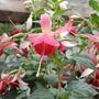 celia smedley (fuchsia)