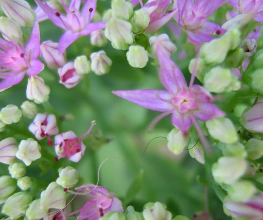 Closeup of Sedum flowers...check out the bashful aphid... (Sedum spectabilis)