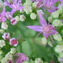 Closeup of Sedum flowers...check out the bashful aphid... (Sedum spectabilis)