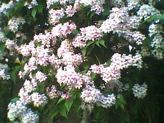 Dipelta (Dipelta Caprifoliaceae)