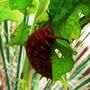 Orange Horned Caterpillar 3