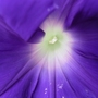 Purple_morning_glory_close_up_82808