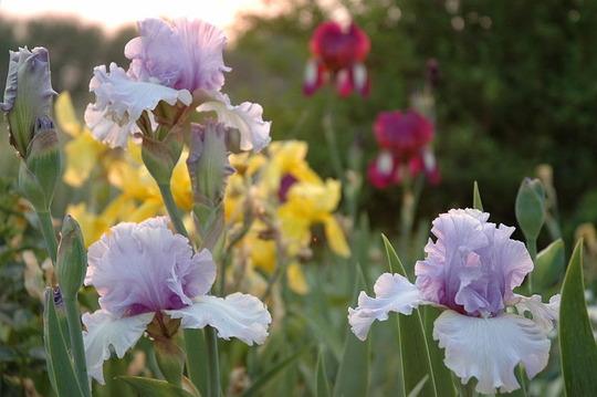 Irises in Bloom (Iris)