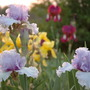 Dsc_0413_irises_in_bloom