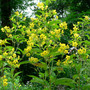 Fringed Loosestrife (Lysimachia ciliata (Loosestrife))
