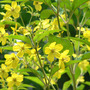 Fringed Loosestrife Closer (Lysimachia ciliata (Loosestrife))