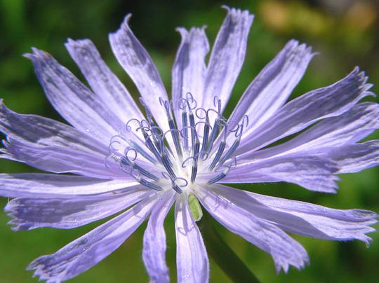 Chicory (Cichorium intybus (Blue Sailors))