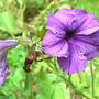 Hummingbird Clearwing (Moth)