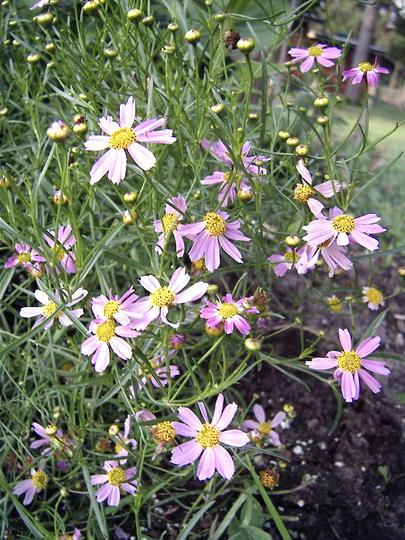 Coreopsis rosea 'American Dream'.  (Coreopsis rosea 'American Dream')