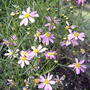 Coreopsis rosea