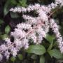 Astilbe  (Astilbe chinensis (Astilbe))