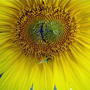 Sunflower -a conjoined twin!