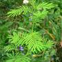 Illinois_bundleflower_prairie_mimosa_8_26_08_exc_sm