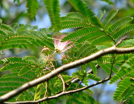 Mimosa Tree Bloom (Albizia julibrissin Durizzini)