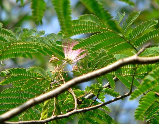 Mimosa Tree Bloom (Albizia julibrissin Durizzini)
