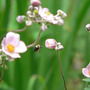 Bee_fly_to_japanese_anemone_pink_8_26_08_exc_sm