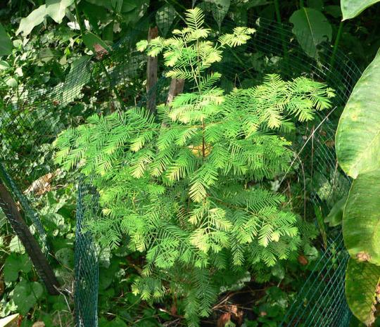 """Metasequoia """"Gold Rush"""" (Metasequoia glyptostroboides """"Gold Rush"""")"""