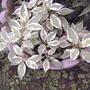 Variegated dogwood (Cornus)