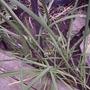 Garlic chives in bud (Allium tuberosum (Garlic chives))