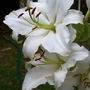 White Lilies (lilium species)