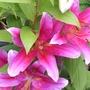 Pink lilies (lilium species)