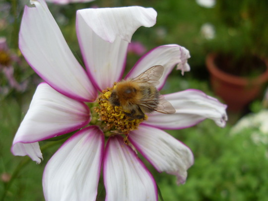 bees are still enjoing the cosmo