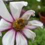 Bees_are_still_enjoying_the_cosmo