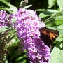 Small Tortoiseshell Butterfly on Buddlia davidii (Buddlia davidii)
