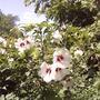 Rose-of sharon (Hibiscus syriacus)