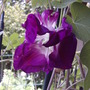 Morning Glory (Ipomoea purpurea 'Sunrise Serenade')