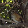 Young Robin in a tree
