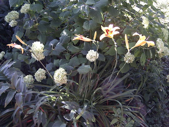 Bonanza daylillies & Annabelle Hydrangea