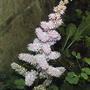 Dwarf pink astilbe (Astilbe chinesis pumila)